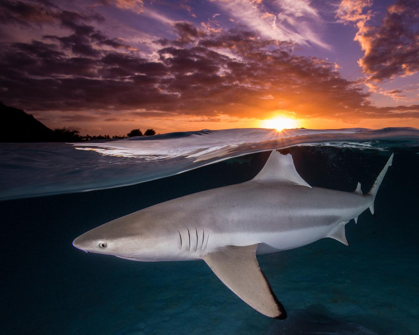 Фотография черноперой рифовой акулы