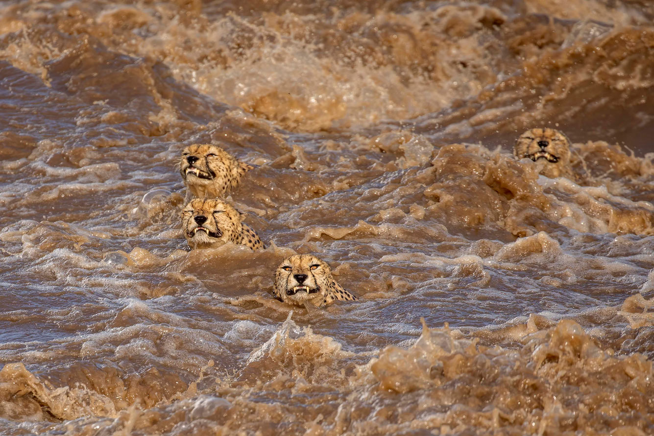 Гепарды переплывают реку в Кении