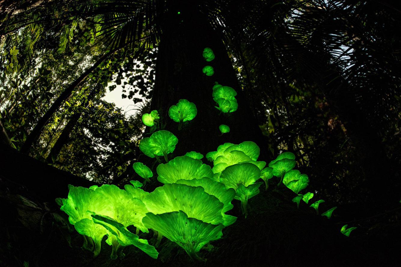 Грибы-призраки на дереве в тропическом лесу