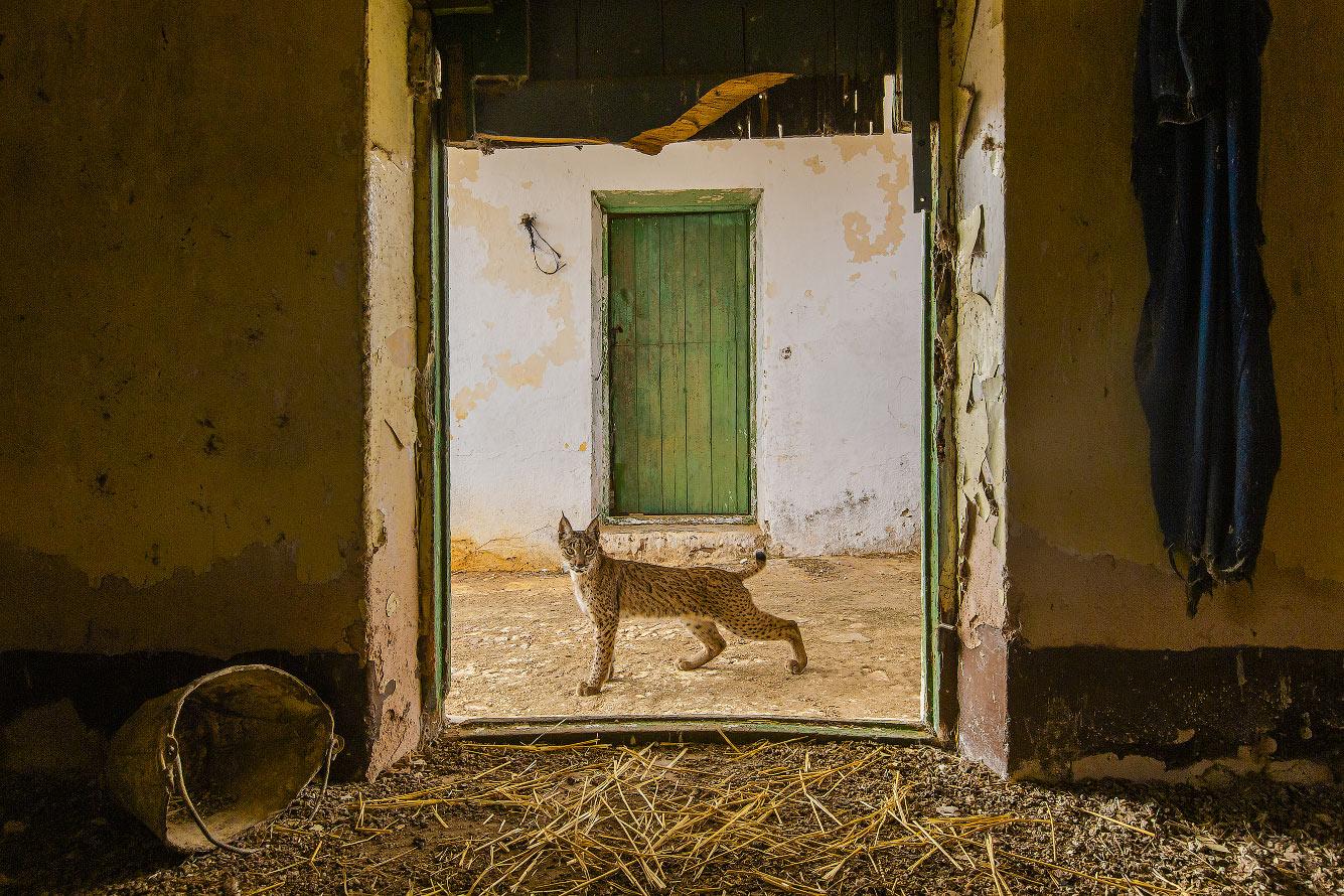 Молодая иберийская рысь