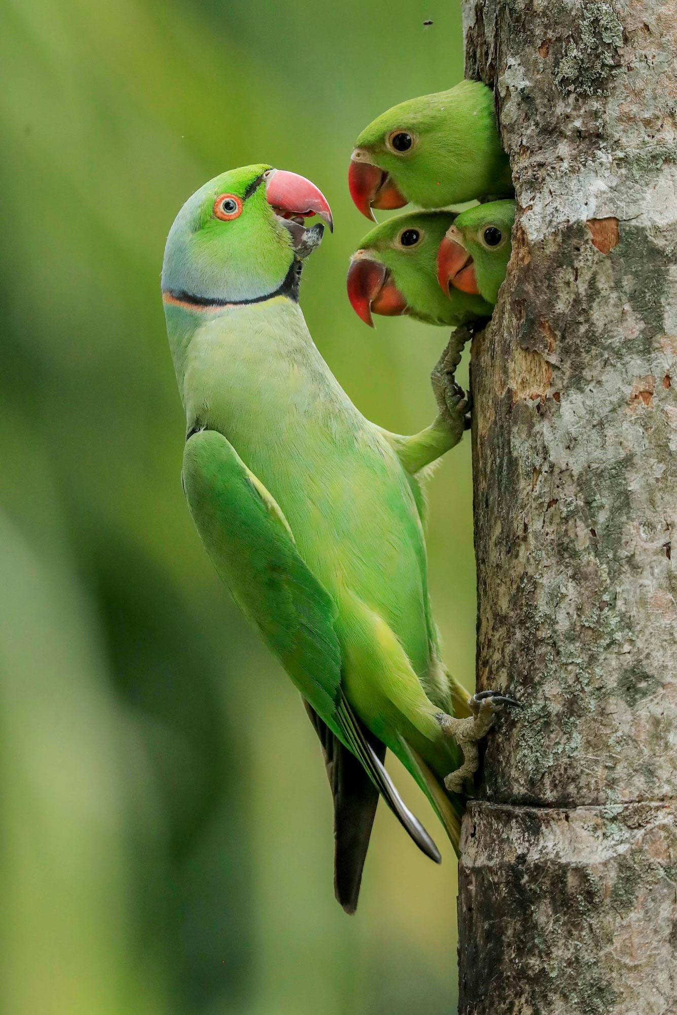 Три птенца попугаев