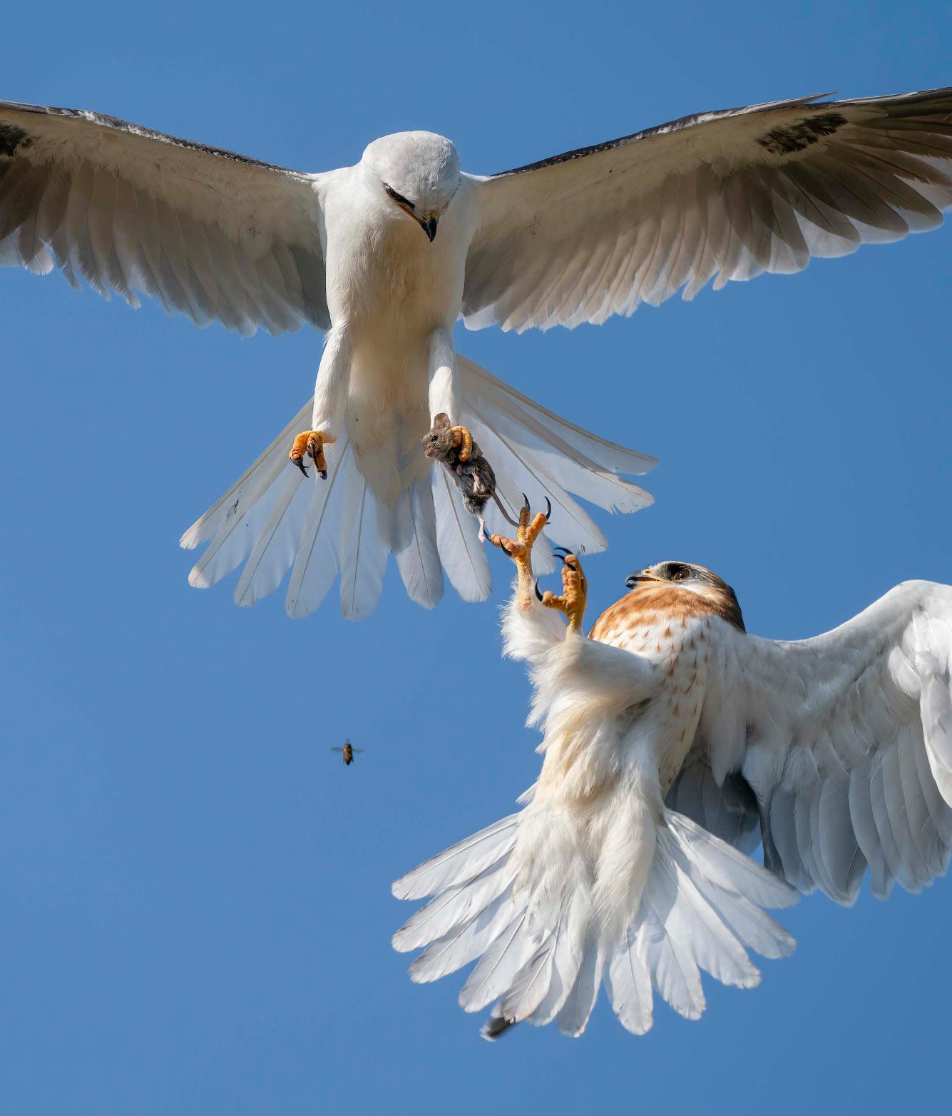 Семейная разборка за добычу орланов-белохвостов