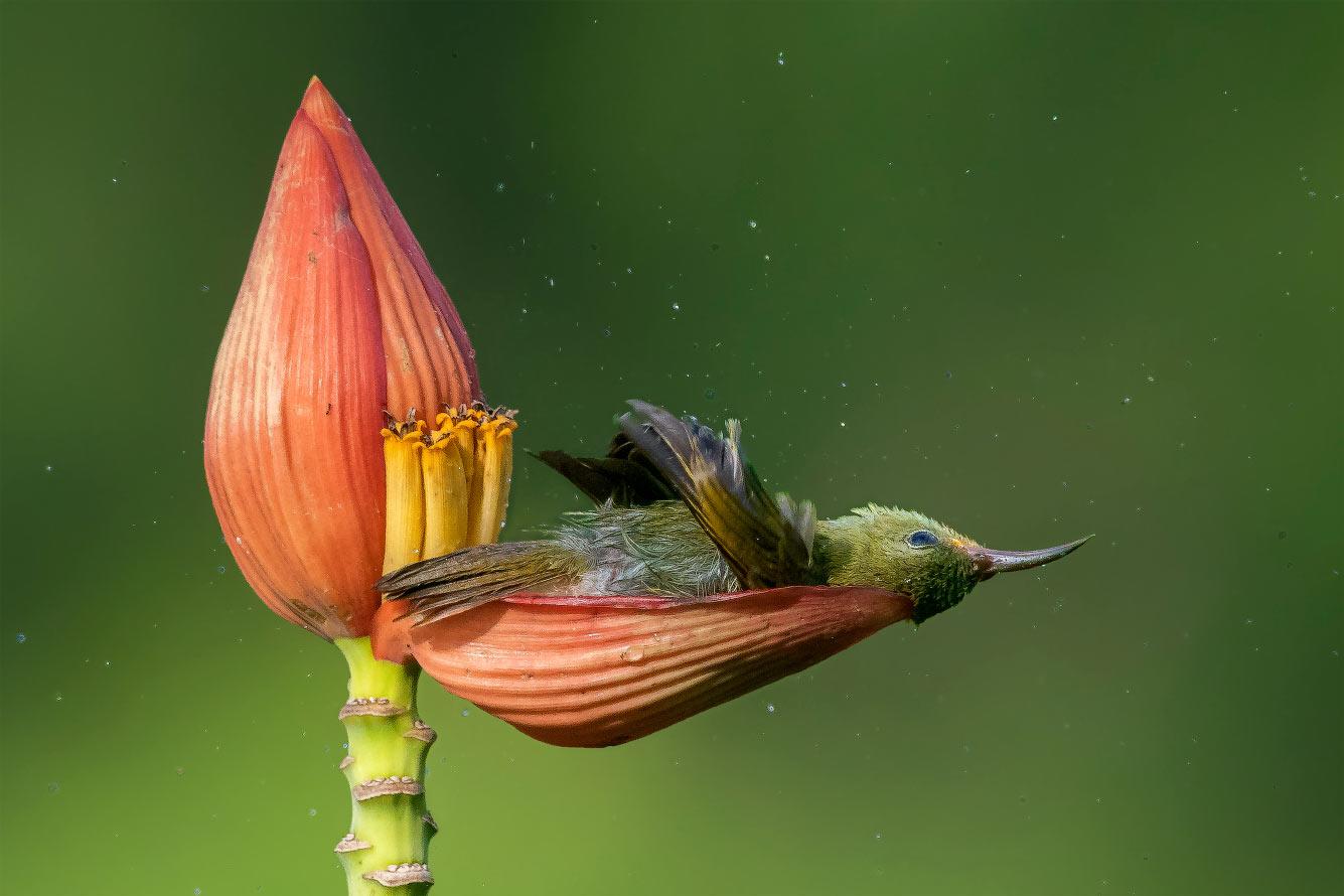 Желтоспинная острохвостая нектарница на отдыхе