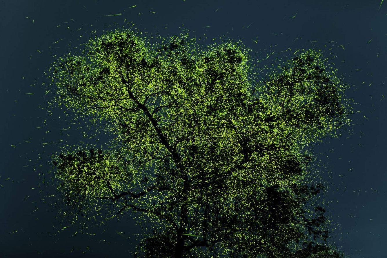 Незадолго до сезона дождей эти светлячки собираются в определенных регионах Индии на деревьях