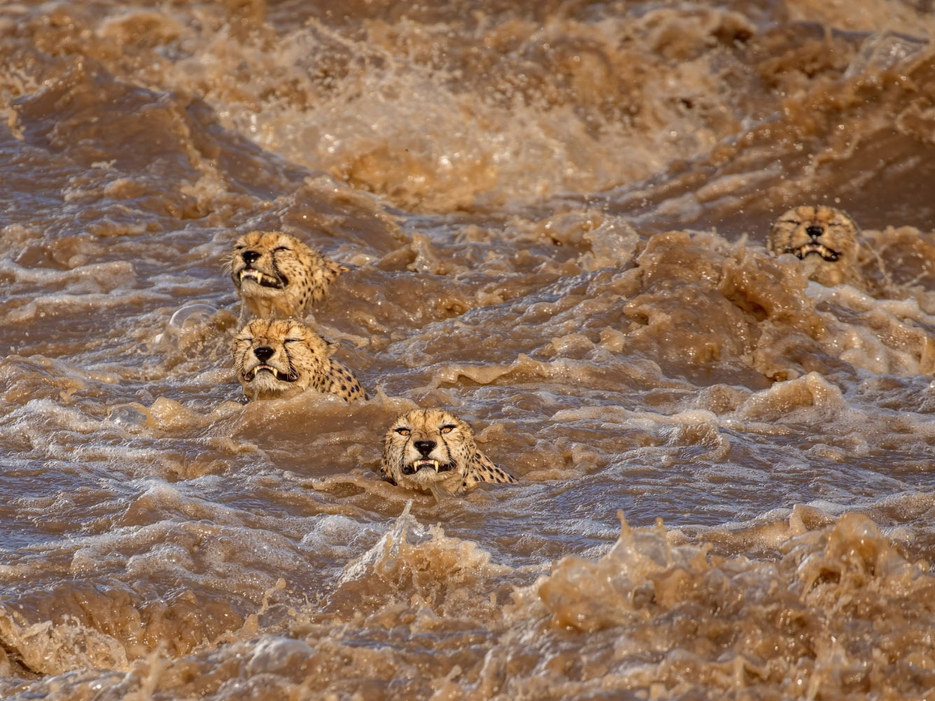 Гепарды переплывают реку