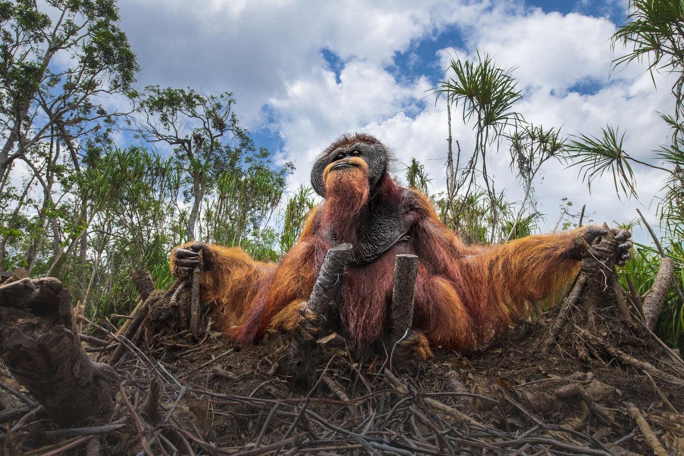 Хозяин на Борнео среди вырубленных деревьев