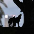 Коронавирусные новости: парк Яркон в Тель-Авиве заполонили шакалы