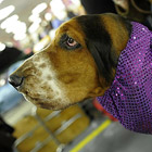 Выставка собак Westminster Kennel Club dog show в Нью-Йорке