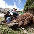 Весна - пора стричь овец