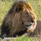 Африканские львы. Часть 2