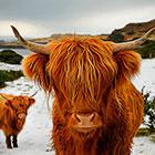 Знакомьтесь, шотландские высокогорные коровы