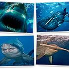 Акулы - грозные хищники морей и океанов