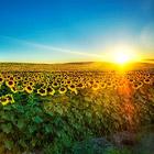 История подсолнечника - цветка солнца