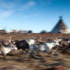 Полуостров Ямал - олений край в Западной Сибири