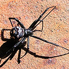Ядовитые пауки в Казахстане