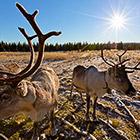 В гостях у северных оленей и сибирских хаски