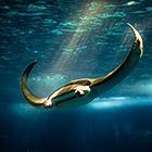 Скаты - водоплавающие бабочки