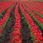 Самое большое поле тюльпанов в Европе