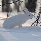 Несколько слов о зайце - символе 2011 года
