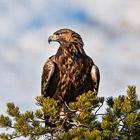 Противостояние орлов в дикой природе