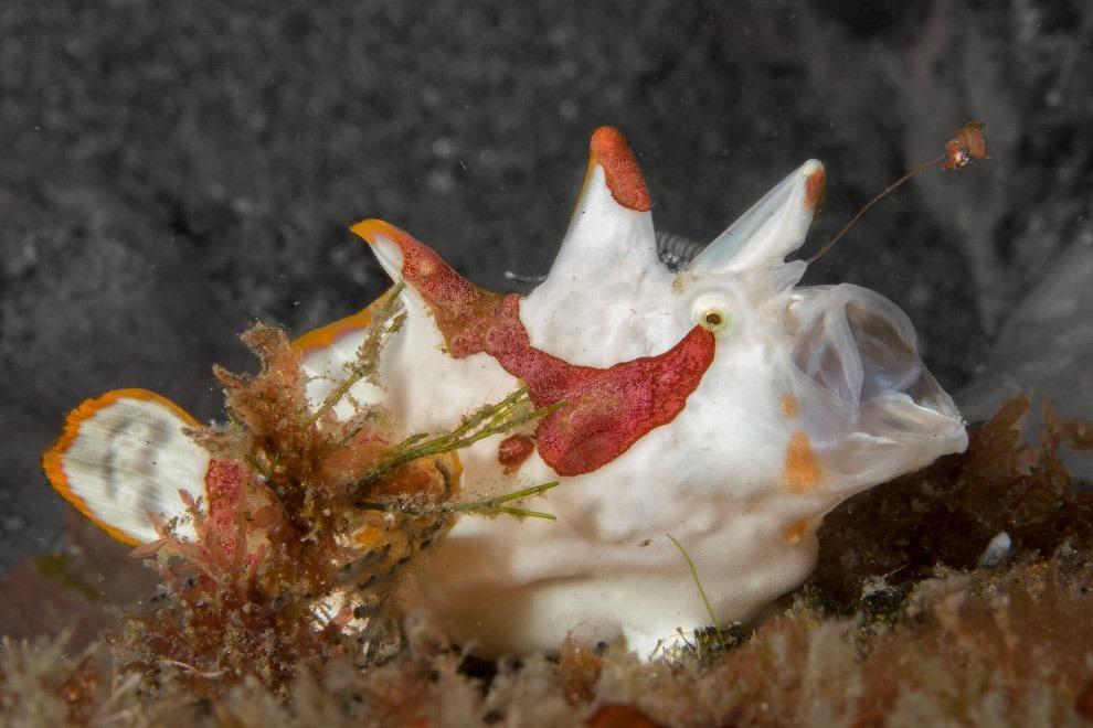 Рыба Antennarius maculatus из отряда морских чертей
