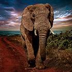 Как живут слоны в неволе
