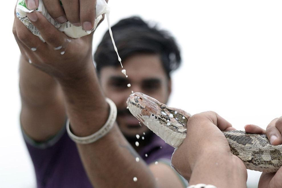 Змеиный фестиваль Nag Panchami 2017