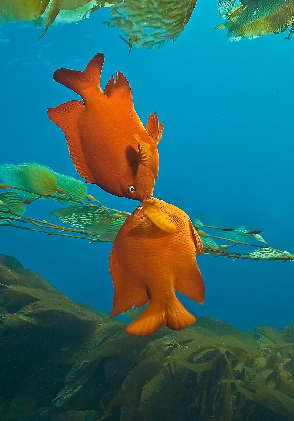 Гарибальди — вид лучепёрых рыб