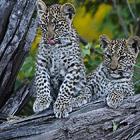 Дикая Африка - три недели с котятами леопарда