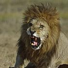 Остров в Дикой Африке, где львы охотятся только днем