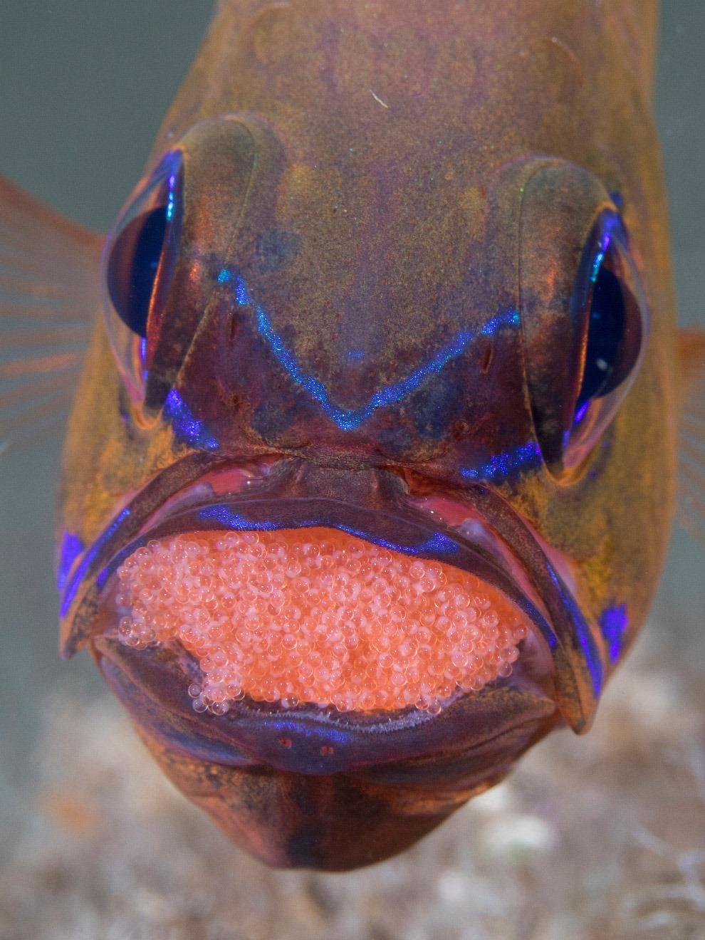 рыба-кардинал Ostorhinchus aureus