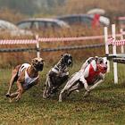 Собачьи бега. Чемпионат России