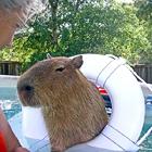 Пятидесятикилограммовый хомячок живет в Техасе