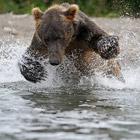 Курильское озеро. Нерка и медведи