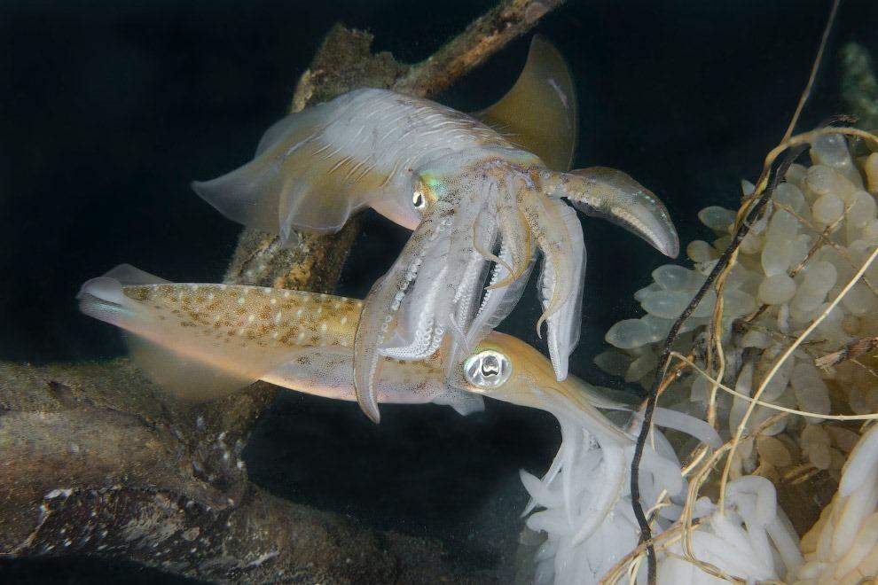 Крупный кальмар охраняет свою даму от посягательств других самцов