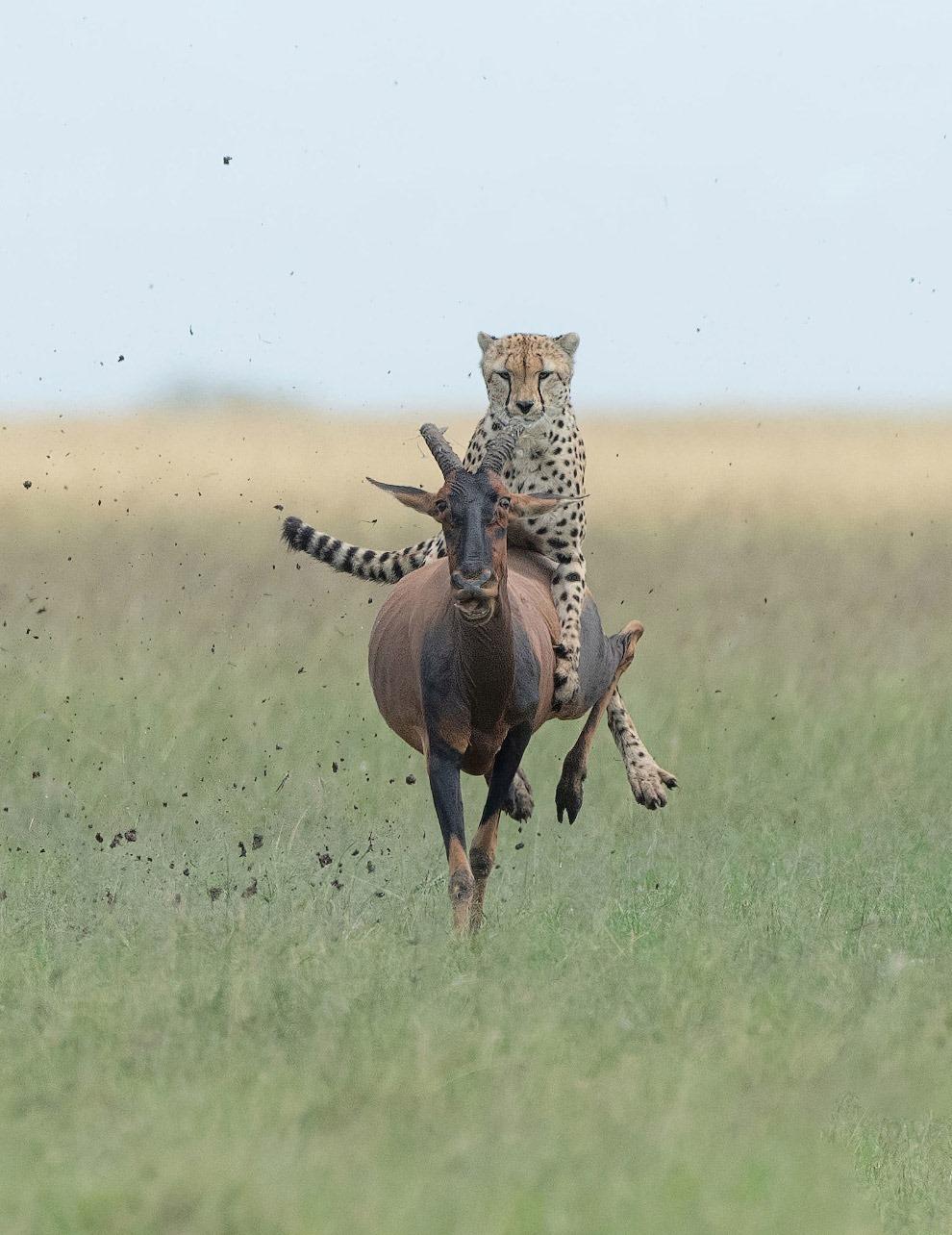 Гепард-наездник