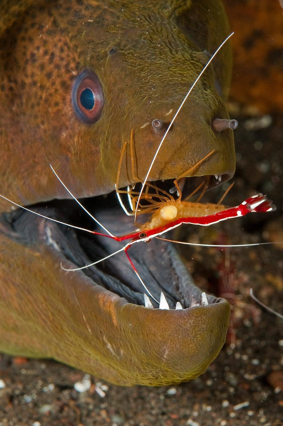 Бесстрашный чистильщик орудует во рту у жёлтопёрой мурены