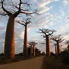 Баобаб - дерево, растущее вверх ногами