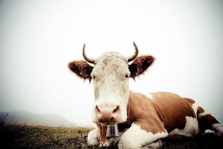 Эти забавные животные: коровы