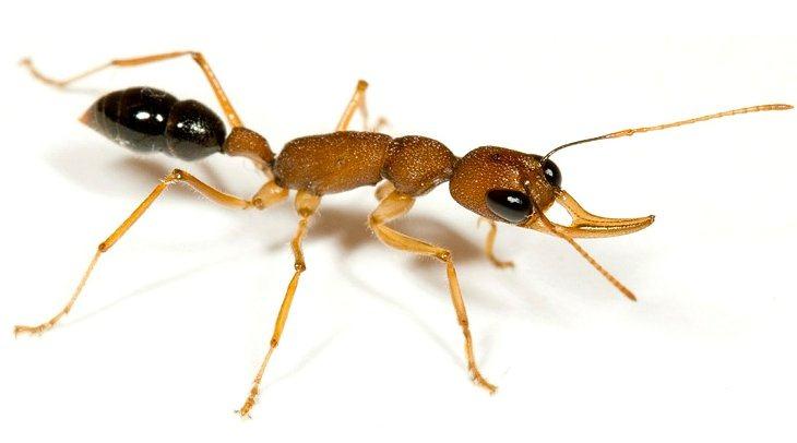 Прыгающий муравей