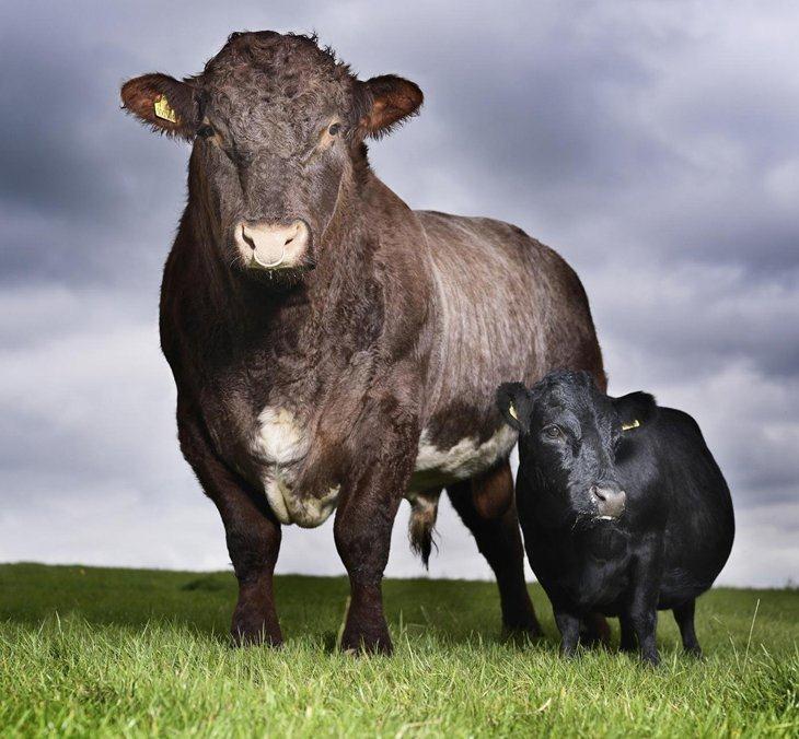 Самая маленькая корова в мире