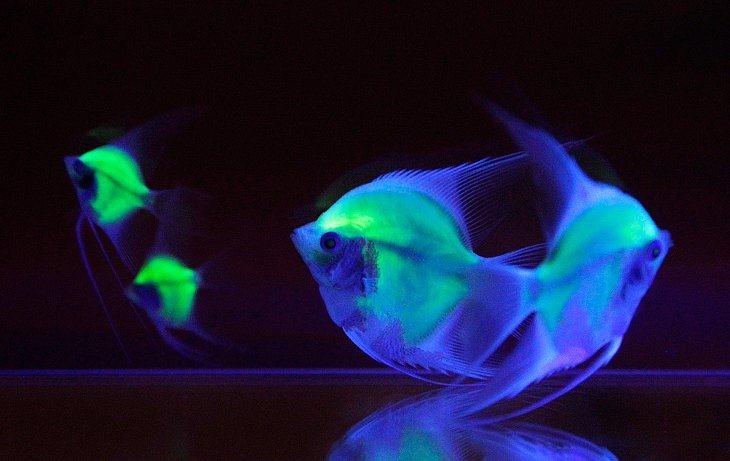 Рыба-ангел (Pterophyllum)