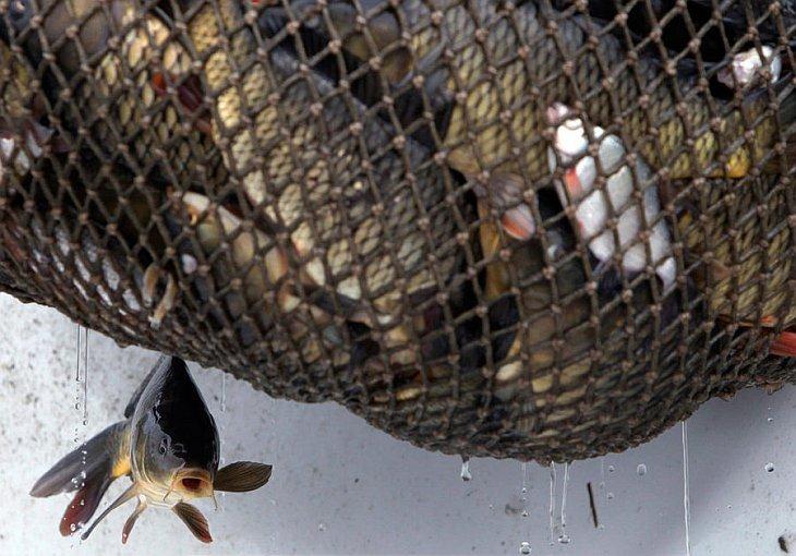 Рыба свисает из сети во время традиционной рыбной ловли в пруду Большой Тисый в городе Тржебонь