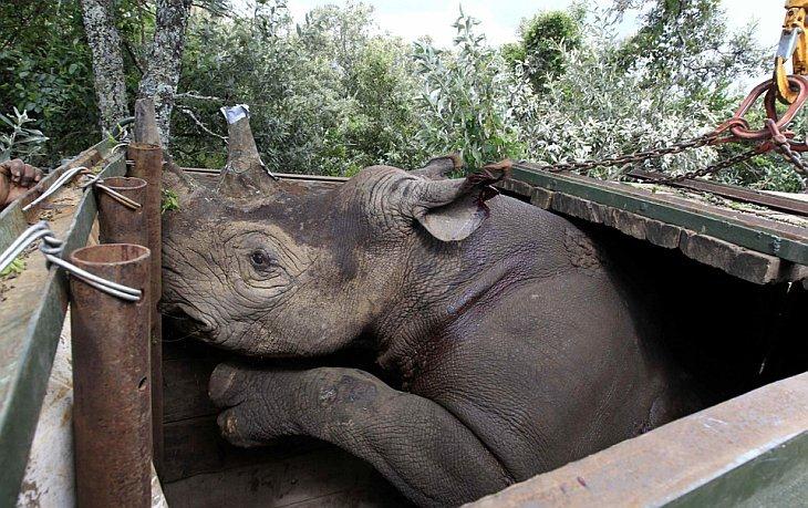 Находящийся под угрозой исчезновения черный носорог с частично отрезанным рогом был перевезен в Национальный парк Кении Tsavo