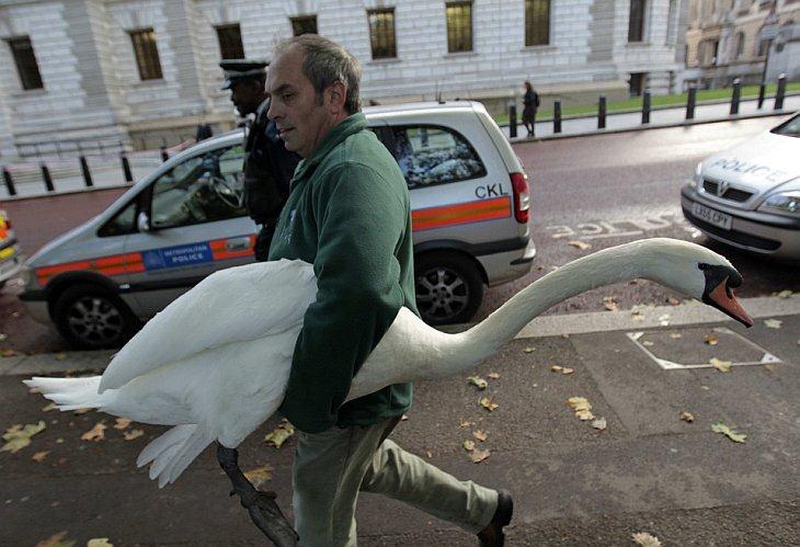 Сотрудник парка несет лебедя, который забрел на улицы Лондона
