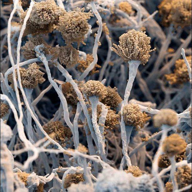Плесневые грибы Fungus aspergillus fumigatus