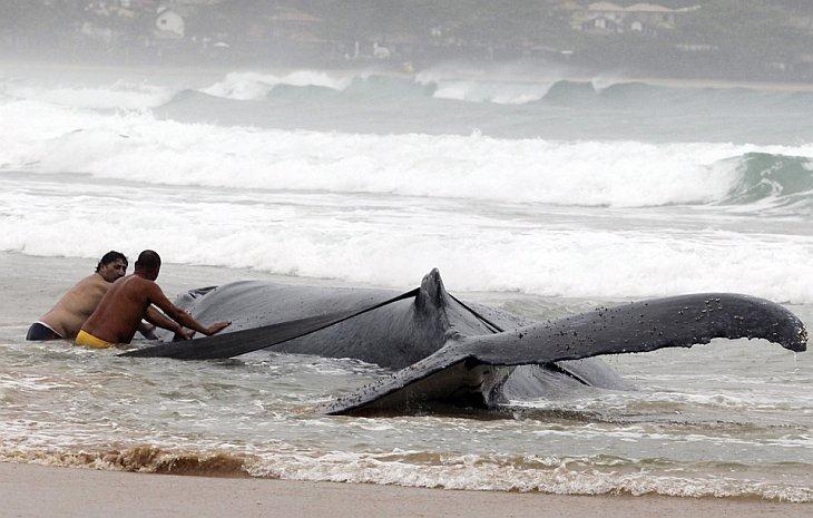 Люди пытаются спасти севшего на мель горбатого кита в Бузиос