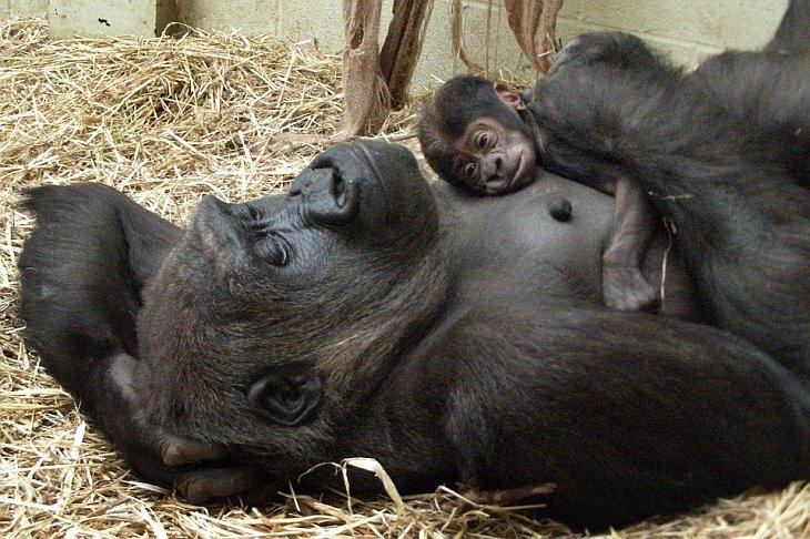 Западная равнинная горилла, держит своего первенца в Лондонском зоопарке