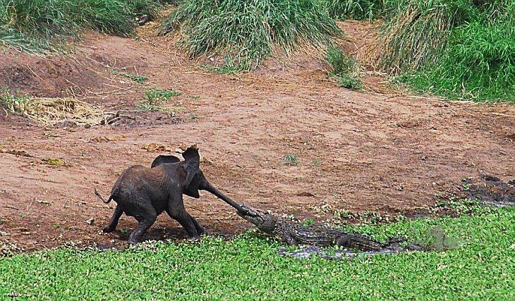 Крокодил пытался схватить слоненка