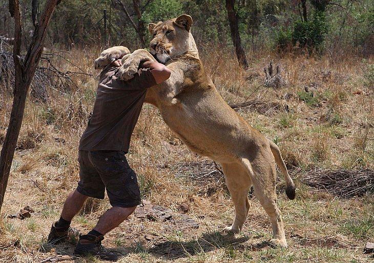 Кевин Ричардсон борется, играя со львицей